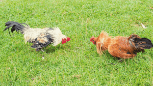How to make a rooster fight better